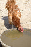 Thirsty Red Rooster Royalty Free Stock Images