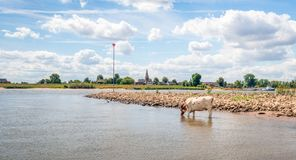 Thirsty red-and-white cow drinks from the water from the river. In the background is a stone groyne with beacon for shipping. And on the other side is the edge royalty free stock photo