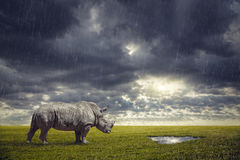 Thirsty Rhino. Rhino looking for water under the rain after drought at dramatic sunset in savanna royalty free stock photography
