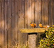 Thirsty robins Stock Images
