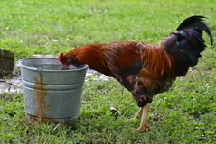 Thirsty Rooster Royalty Free Stock Photography
