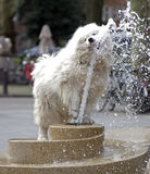 thirsty samoyed dog Royalty Free Stock Photos