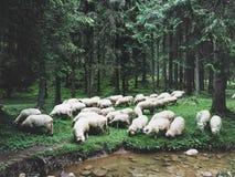 Thirsty sheep Royalty Free Stock Photos