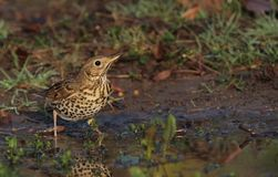 Thirsty Song Thrush Stock Photo