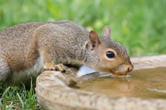 Thirsty Squirrel Stock Image