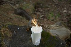 Thirsty squirrel drinking Royalty Free Stock Images