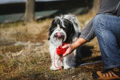 Thirsty Tibetan terrier dog drinking water from the bottle his owner, active life, friendship and care. Man gives water to his thirsty Tibetan terrier dog royalty free stock image