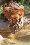 Thirsty Tiger. Close Up Detail View Of Tiger Drinking From Golden Pond Royalty Free Stock Image