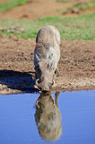 Thirsty Warthog Royalty Free Stock Image