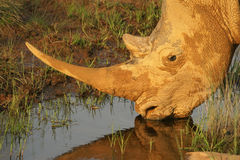Thirsty White Rhino Bull. A White Rhino bull photographed at last light while on safari in South Africa Stock Photo