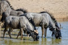 Thirsty Wildebeest enjoying a drink Royalty Free Stock Photography