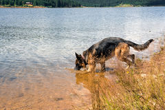 Thirsty wolf dog, refresh to the lake side Royalty Free Stock Images