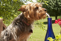 Thirsty Yorkie Royalty Free Stock Photography
