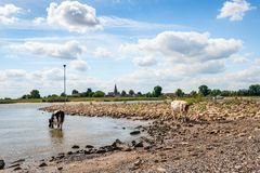 Thirsty young cow drinks water from the river. Thirsty young black-and white cow drinks water from the Dutch river Waal while a red-and-white cow looks curiously stock image