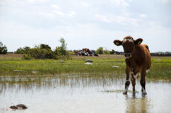 Thirsty young cow. At a water hole Royalty Free Stock Image