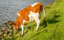 Thirsty young cow drinking from the water of the river Stock Photography