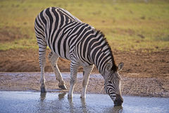 Thirsty Zebra Stock Photography