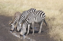 Thirsty Zebras. A herd of zebras quenching their thirst on a waterhole Stock Image