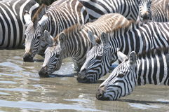 Thirsty Zebras. A herd of zebras quenching their thirst on a waterhole Royalty Free Stock Photos