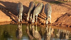 Thirsty Zebras at a Waterhole stock video footage