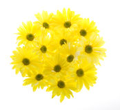 Thirteen Daisies in Circle Shape Royalty Free Stock Image