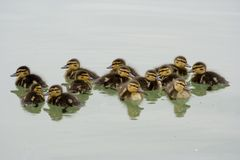 Thirteen ducklings Royalty Free Stock Photos