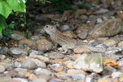 Thirteen-Lined Ground Squirrel Stock Images