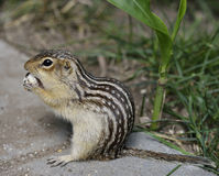 Free Thirteen-Lined Ground Squirrel Stock Photography - 33226262