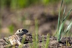 Thirteen-lined Ground Squirrel in his natural territory in Alamosa National Wildlife Refuge in southern Colorado Royalty Free Stock Images