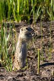Thirteen-lined Ground Squirrel in his natural territory in Alamosa National Wildlife Refuge in southern Colorado Stock Photo