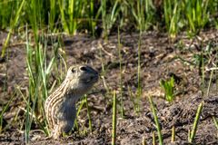 Thirteen-lined Ground Squirrel in his natural territory in Alamosa National Wildlife Refuge in southern Colorado Stock Images