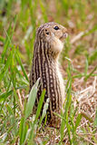 Thirteen-lined Ground Squirrel Stock Photography