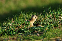 Thirteen-Lined Ground Squirrel Eating Royalty Free Stock Photos