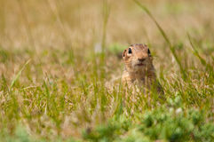 Thirteen-lined Ground Squirrel. In the grass royalty free stock photos