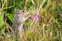 Thirteen-lined ground squirrel (Ictidomys tridecemlineatus) Stock Photography