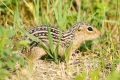Thirteen-lined ground squirrel (Ictidomys tridecemlineatus). Thirteen-lined ground squirrel feeding on prairie grasses and flowers stock photo