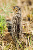 Thirteen-lined ground squirrel (Ictidomys tridecemlineatus) Royalty Free Stock Image