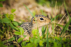 Thirteen-lined ground squirrel (Ictidomys tridecemlineatus) Stock Images