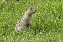 Thirteen-lined Ground Squirrel on the meadow. Rodent on the meadow,Thirteen-lined Ground Squirrel from wisconsin royalty free stock photography