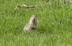 Thirteen-lined Ground Squirrel on the meadow stock images