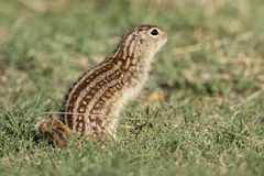 Thirteen lined ground squirrel in prairie Stock Images