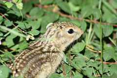 Thirteen Lined Ground Squirrel  Royalty Free Stock Photo