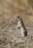Thirteen-lined Ground Squirrel, Spermophilus tridecemlineatus Stock Photos