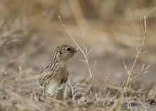 Thirteen-lined Ground Squirrel, Spermophilus tridecemlineatus. Thirteen-lined Ground Squirrel at Alamosa National Wildlife Refuge in Colorado Stock Images