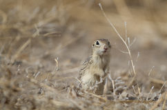 Thirteen-lined Ground Squirrel, Spermophilus tridecemlineatus. Thirteen-lined Ground Squirrel at Alamosa National Wildlife Refuge in Colorado Royalty Free Stock Photo