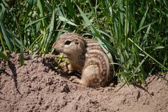 Thirteen-lined ground squirrel - Spermophilus tridecemlineatus Stock Image