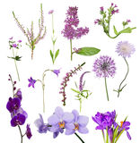 Thirteen purple flowers on white Royalty Free Stock Image