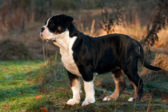 Thirteen weeks old female puppy Old English Bulldog Royalty Free Stock Photos