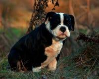 Thirteen weeks old female puppy Old English Bulldog. Thirteen weeks old tricolor female puppy Old English Bulldog Royalty Free Stock Image