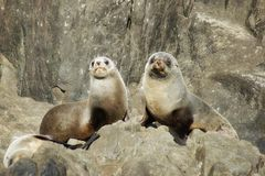 Fur Seals on Rocks royalty free stock photo